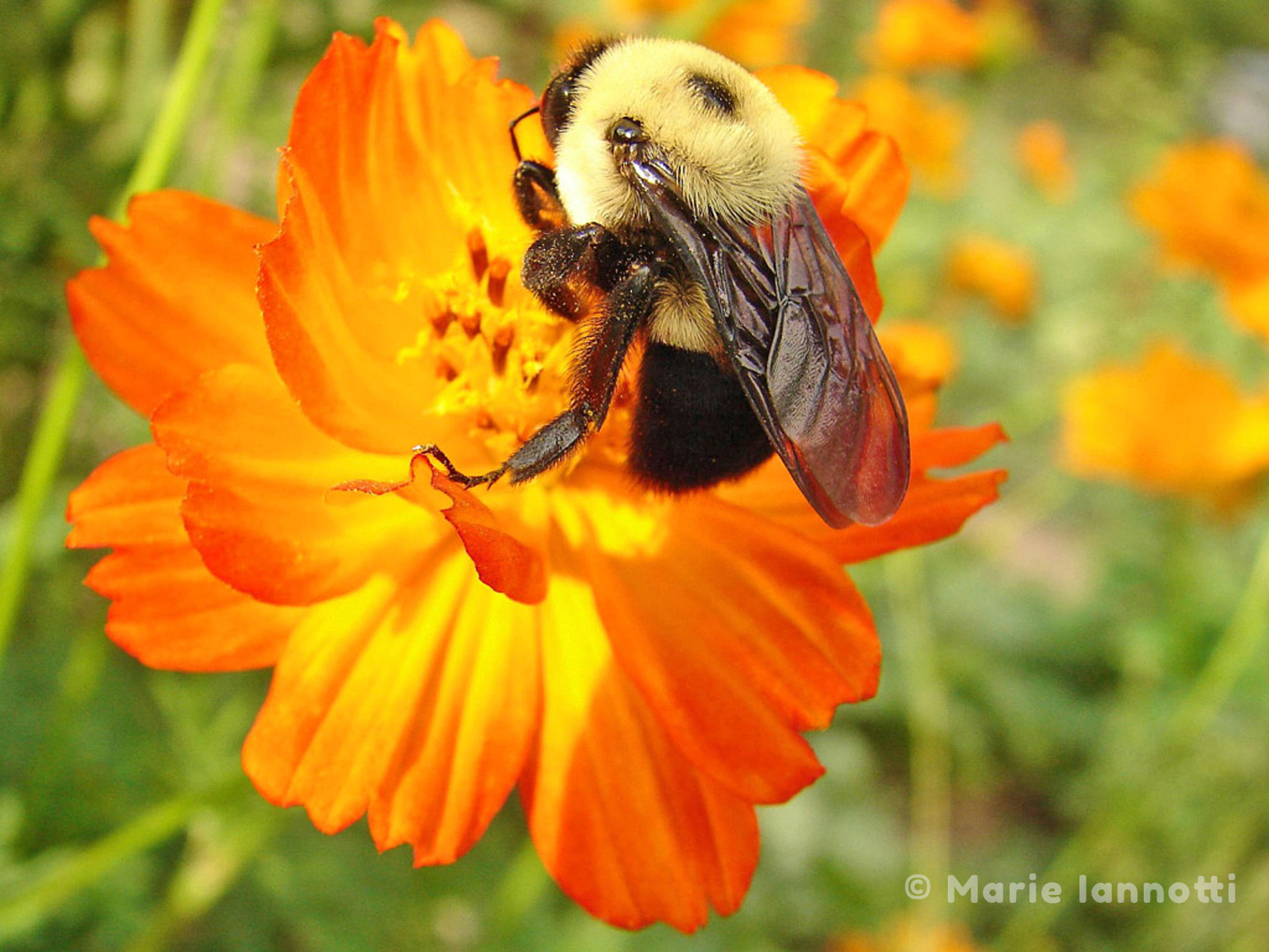 The beauty of flowers in the vegetable garden marie iannotti bee pollinating cosmos izmirmasajfo